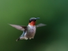 Male Ruby-throated Humming Bird In Flight #1