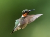 Male Ruby-throated Humming Bird In Flight #2