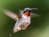 Male Ruby-throated Humming Bird In Flight #3