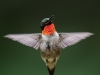 Male Ruby-throated Humming Bird In Flight #4