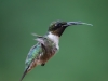 Male Ruby-throated Humming Bird In Flight #5