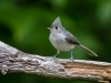 Tufted Titmouse #1