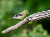 American Goldfinch (female) with Seed