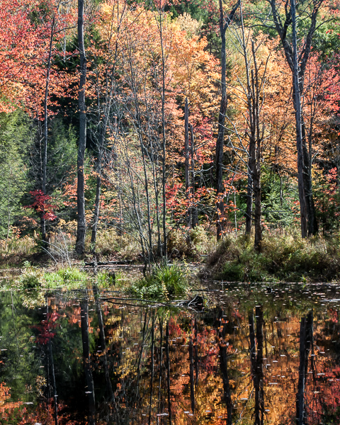 Wetland in Autumn (Bradford, NH) #3