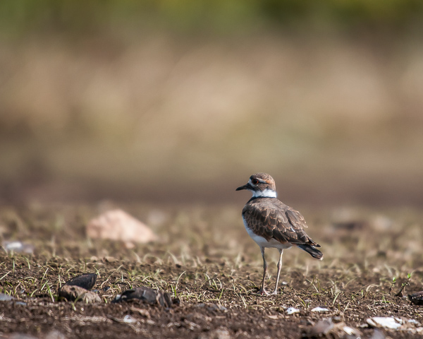 Killdeer #1