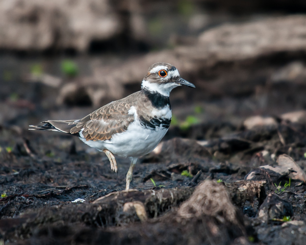Killdeer #3