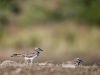Killdeer #2