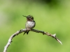 Male Ruby-throated Humming Bird #1
