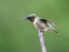 Male Ruby-throated Humming Bird #4