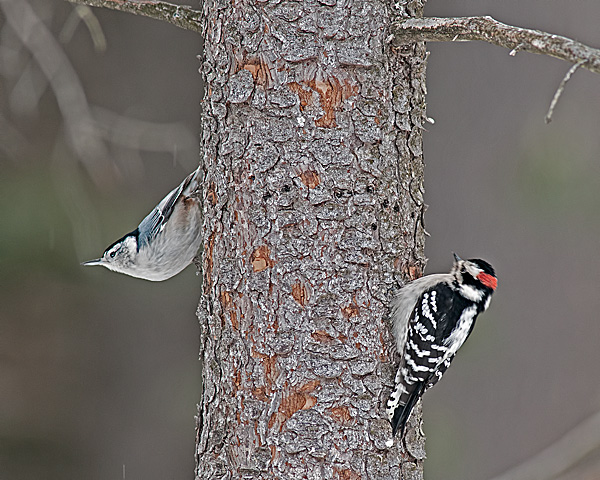 Nuthatch & Downy Woodpecker (Sometimes you get lucky!)