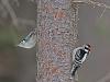Nuthatch & Downy Woodpecker (Sometimes you get lucky!)