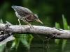 Juvenile Green Heron #2