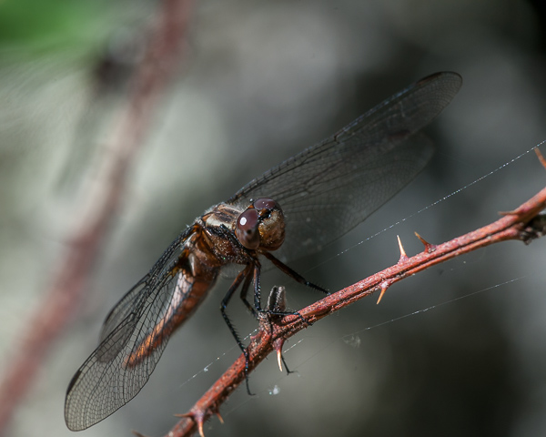 White-fronted Corporal (female)