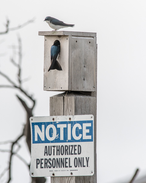 Authorized Personnel? (Tree Swallows)