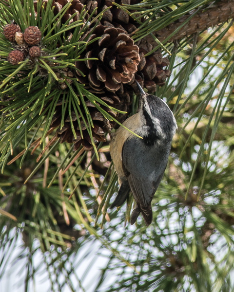 Red-breasted Nuthatch #1