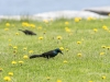Grackle in the Grass