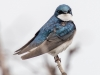 Tree Swallow #2