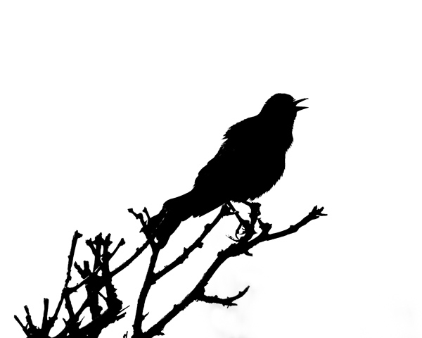 Grackle Silhouette