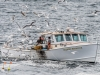 Gulls Mob Lobstermen