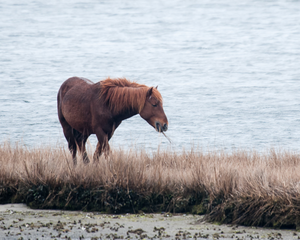 Assateague Horses #2