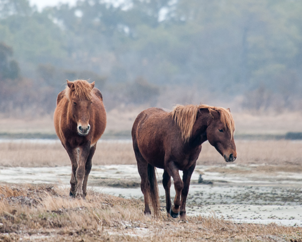 Assateague Horses #4