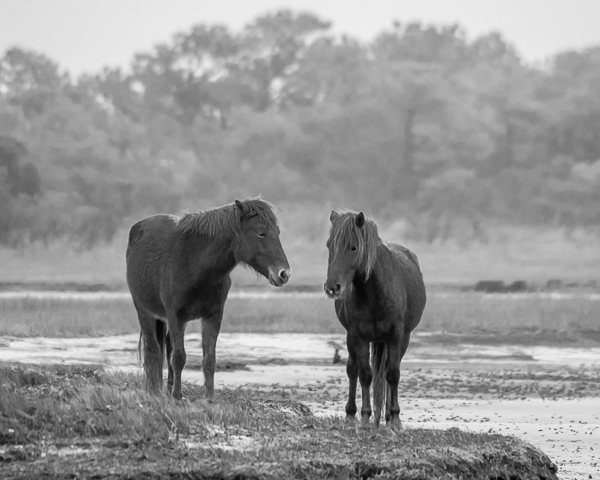 Assateague Horses #5