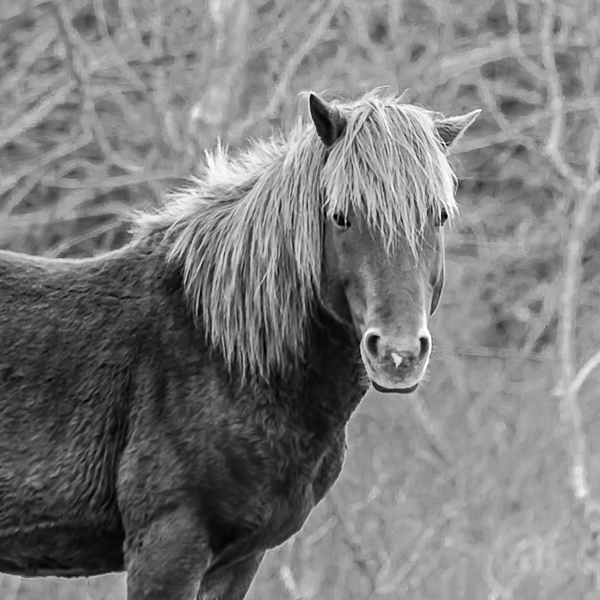 Assateague Horses #6