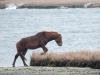 Assateague Horses #1