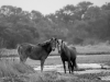 Assateague Horses #3