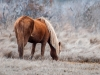 Assateague Horses #7
