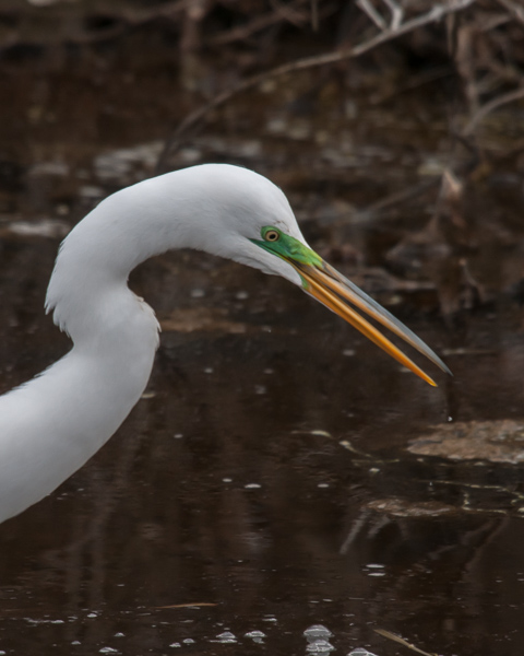 Great Egret (male) #1