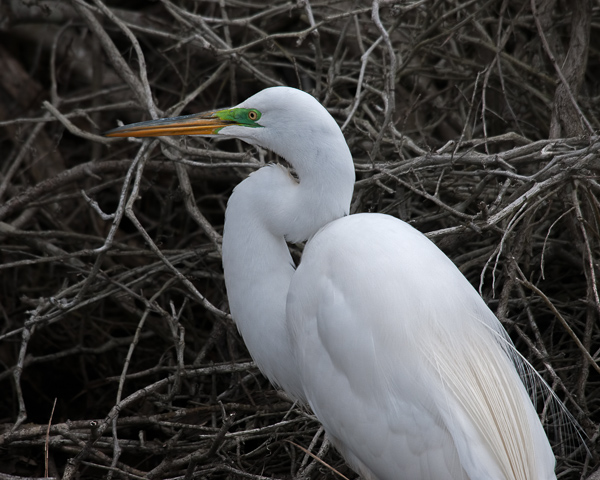 Great Egret (male) #2