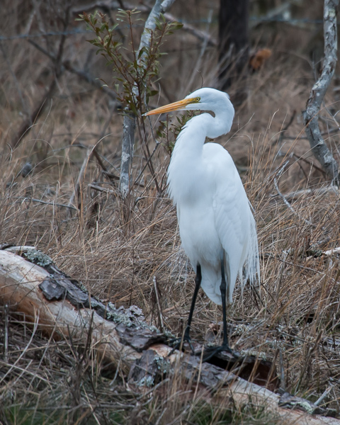 Great Egret (female)
