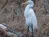 Great Egret (female)