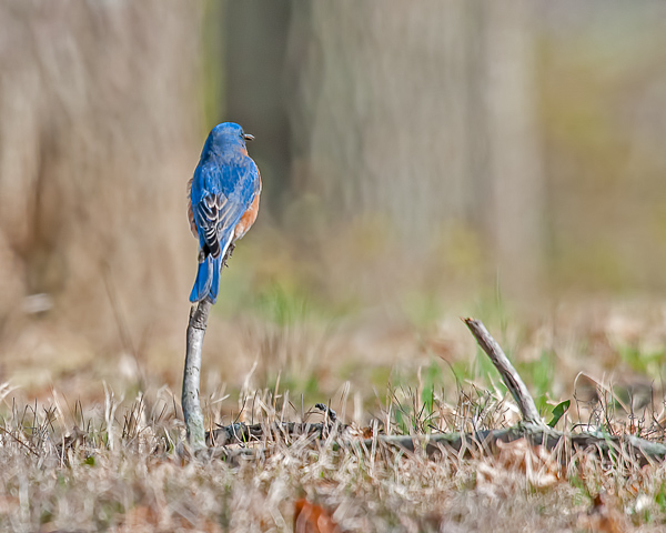 Eastern Bluebird (male) #1