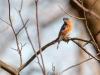 Eastern Bluebird (male) #2