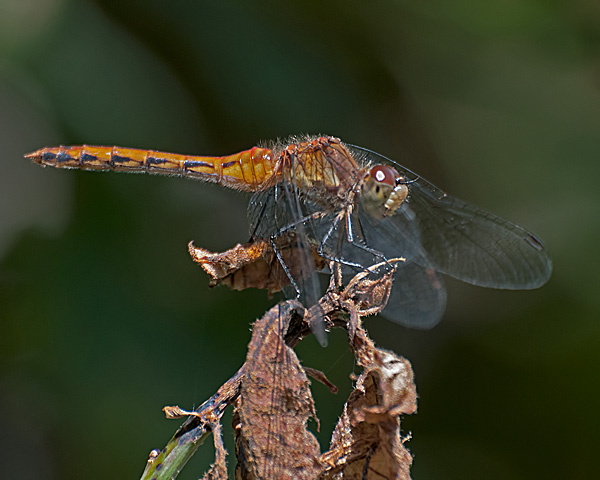 Meadowhawk sp. (immature male)