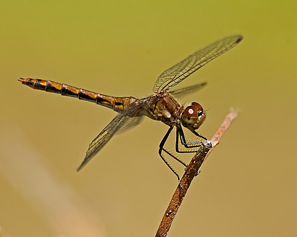 Meadowhawk sp. (female)