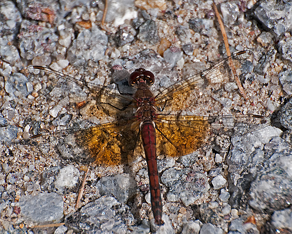 Band-winged Meadowhawk (male)