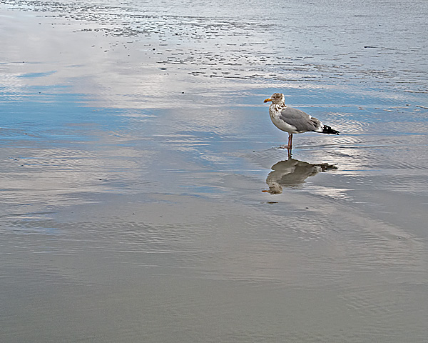 Gull and Reflections