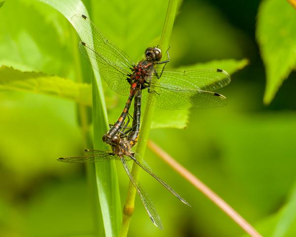 Meadowhawk Mating Wheel