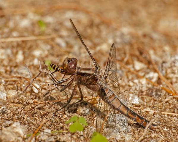 Chalk-fronted Corporal (female) with Prey