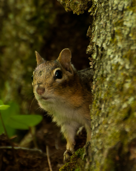 Eastern Chipmunck
