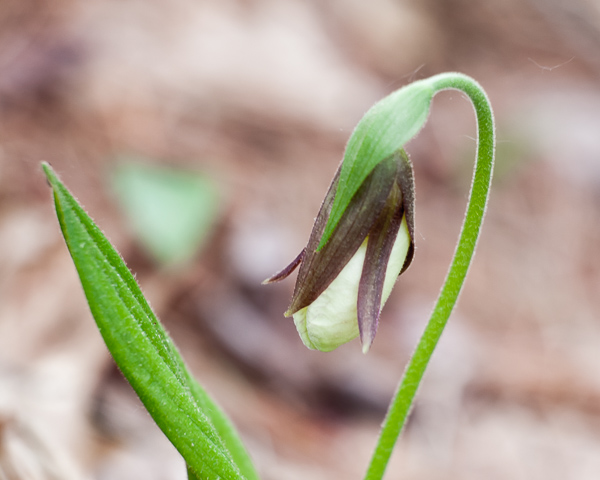 Early Lady Slipper #1