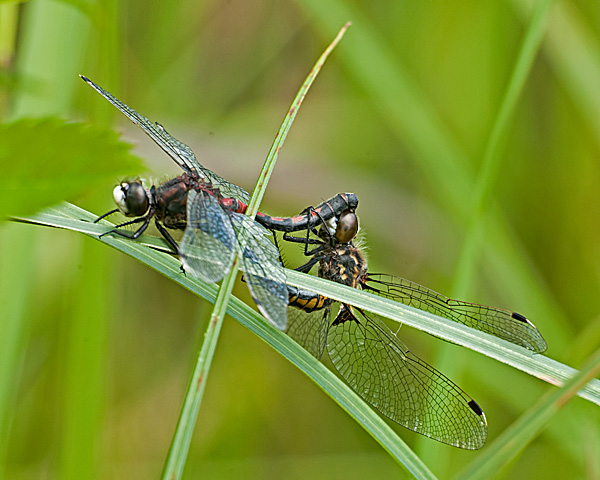 Hudsonian Whiteface, mating wheel