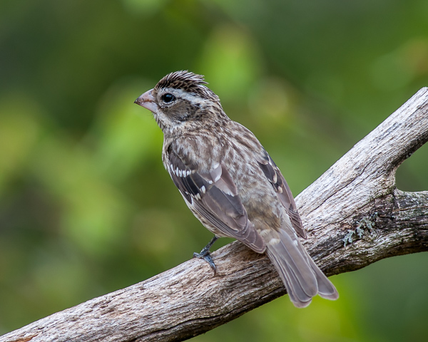 Rose-breasted Grosbeak (female)