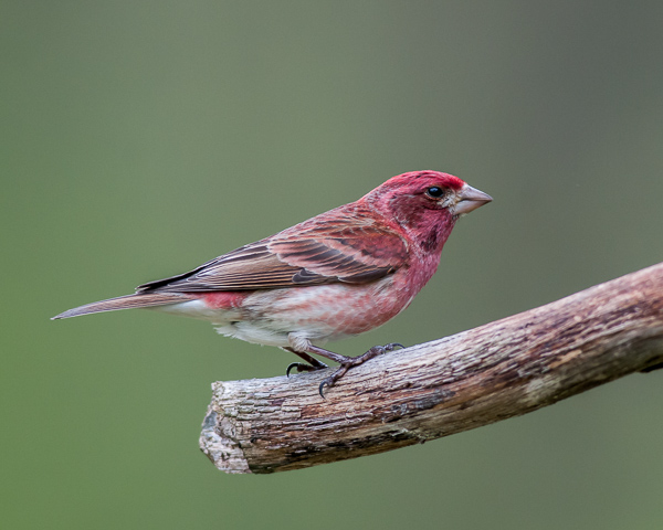 Purple Finch (male)
