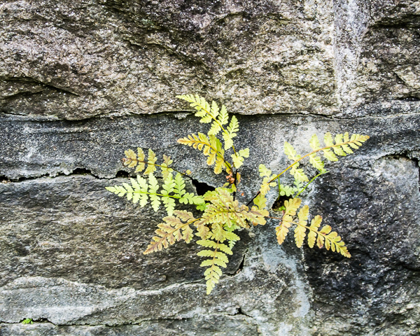 Ferns in Wall