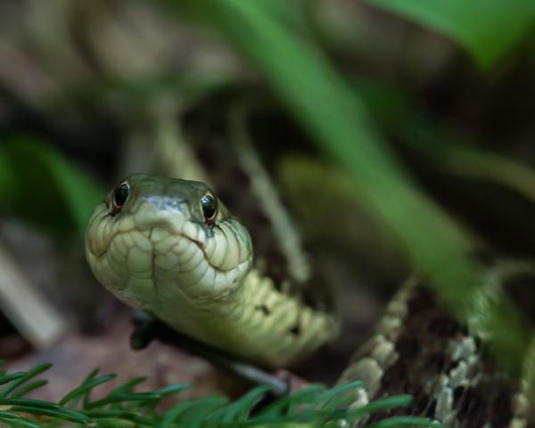 Garter Snake #1