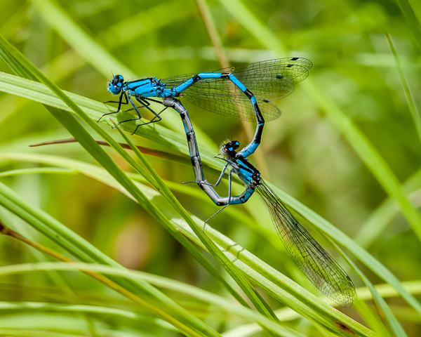 Bluet Mating Wheel (either Boreal or Northern)